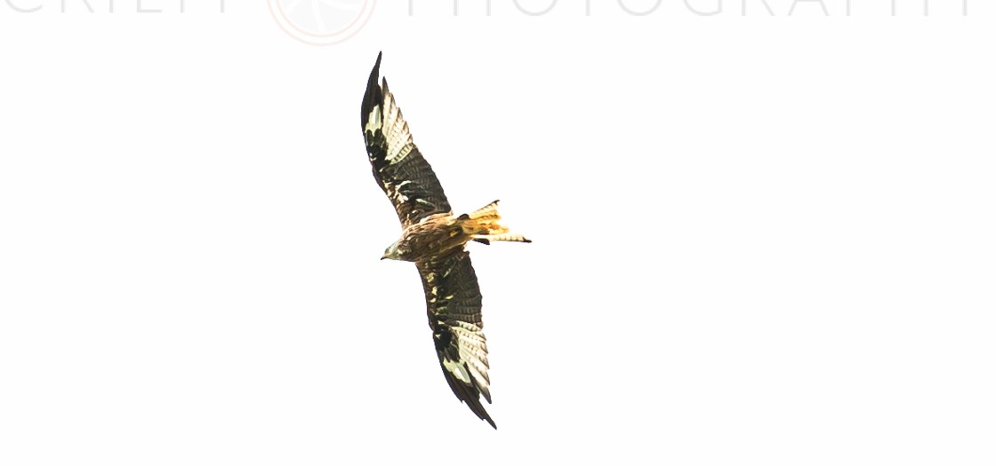 Perthshire Photographer | Red Kite Photos